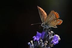 dall'ombra (luporosso) Tags: natura nature naturaleza naturalmente nikon nikond500 nikonitalia farfalla fiori flowers fleur flor mariposa borboleta papillon macro closeup licenide licenidae