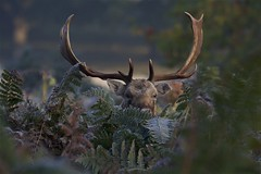 IMG_9300 (Sula Riedlinger) Tags: fallowdeerdamadama fallowdeerbuck antlers deer frost frostymorning greaterlondon greaterlondonwildlife greaterlondonparkswildlife londonroyalparks londonwildlife londonparkswildlife mammal nature richmondpark royalparks royalpark surreywildlife surrey ukwildlife uknature ukmammal urbanwildlife urbannature wildlifephotography wildlife
