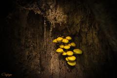 Escondidos...283/365 (cienfuegos84) Tags: hongos arbol