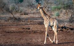 Giraffe (petraherdlitschke) Tags: africa southafrica krugerpark giraffe animals africanwildlife nature naturphotography outofafrica outdoors canon canon7dmark2 canonef70200 gamedrive nationalpark wildlife wildlifephotography
