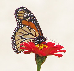 is this your Monarch from up North - just arrived?? (Vicki's Nature) Tags: monarch butterfly migrant 3772 orange brown spots red blossom zinnias yard georgia vickisnature canon s5 october lateoctober fall highkey