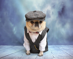 Puggy Peaky Blinders (DaPuglet) Tags: pug pugs peakyblinders dog pet pets animal animals costume halloween razorblade cute funny vest bowtie cap hat shirt arthurshelby shelby family gang crime drama television series 1920s 1930s birmingham england uk london stevenknight war british britian gypsy tv peaky blinders liverpool dogs paulanderson redrighthand pugpeakyblinders peakyblinderspug docks suit coth coth5 sunrays5 clydesfriends