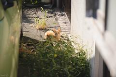 猫 (fumi*23) Tags: sony 85mm ilce7rm3 fe85mmf18 sel85f18 animal cat alley kitten chat kitty katze 猫 ねこ ソニー 仔猫 emount a7r3