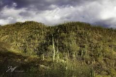 Forêt mexicaine (Jeff-Photo) Tags: 7d canon mexique voyage cactus colline