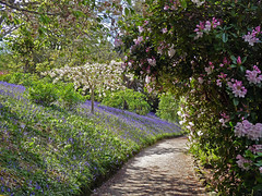 Bluebell Walk (Cornishcarolin.) Tags: cornwall httpswwwnationaltrustorguktrelissick nature flowers bluebells rhododendron cherrytree path 1001nightsthenew 1001nightsthenewmagiccity 1001nightsthenewmagicwindow