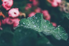 Fading away.. (erlingraahede) Tags: green flowers fade melancholic vsco canon eckernförde october autumn muted germany