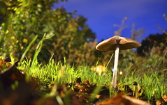 Final Meal (Robin Shepperson) Tags: death deadly poison plant mushroom inedible embankment longexposure le 30seconds nikon d3400 nikkor 1855m kitlens grass green brown ground blue trees leaves leaf fungi autumn midnight night berlin germany deutschland bokeh