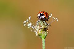 Autumn Lady (Vie Lipowski) Tags: ladybug ladybeetle ladybird plantagolanceolata ribwortplantain englishplantain insect beetle bug weed autumn garden backyard wildflower nature macro