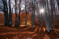 Autumn in a beech forest (zaxarou77) Tags: autumn beech forest crimea russia gold orange nature landscape sun light sony ilce a7 a7m2 a7mii m2 mii mark2 carl zeiss 1635 fe sel f4 sel1635f4za fe1635f4za sonyclub sel1635z variotessar t mm za oss