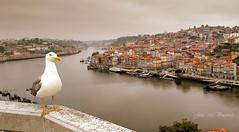 Una gaviota en Oporto (José Manuel Vaquera) Tags: rios rivers ciudades city brumas mists oporto niebla gaviotas seagull