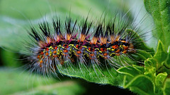 show the colours while you can.. (tdwrsa-2) Tags: canoneos70d ef100mmf28macrousm moth zebraermine paralacydesvocula macro caterpillar