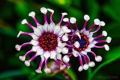 Osteospermum (1) (Eugenio GV Costa) Tags: approvato macro piccoli fiori nascosti small hidden flowers flower fiore