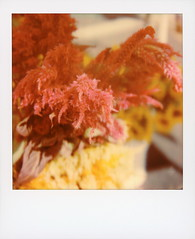 Cock's Comb (tobysx70) Tags: polaroid originals color 600 instant film slr680 cock's comb hollywood farmers market ivar avenue los angeles la california ca cockscomb purple pink flower plant leaf celosia amaranthaceae bokeh toby hancock photography