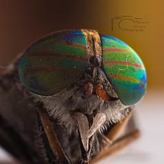 Macro (T.D.A.Photography) Tags: macro magyar mm meike mk910 model macrophotography animal pet pets eyes eye sharpness d750 nikon nikond750 dslr 50mmf18g 50mm