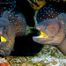 Yellowmouth Moray - Gymnothorax nudivomer