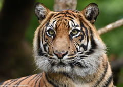 Sumatran tiger - Naturzoo Rheine (Mandenno photography) Tags: animal animals tiger tigers tijger tijgers nature natgeo ngc natgeographic naturzoo zoo rheine germany dierenpark dierentuin dieren duitsland bigcat big cat cats sumatran sumatraanse discovery bbcearth