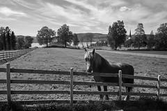 Hesten på Sveinhaug gård (vandrende) Tags: nor sveinhauggård norge norvege norway hedmark bw svarthvit nb hest horse cheval