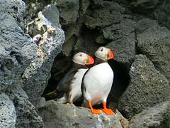 papageitaucher in Island - Puffins in Iceland (holdinghausenm) Tags: papageitaucher puffins island iceland beautifuliceland travel reisen animals birds birdwatching vögel natur nature