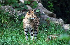 Focused (Schwanzus_Longus) Tags: africa animal mammal forest cat germany cub bush feline royal german krefeld tropic predator serval enclosure savanna wild zoo wildcat