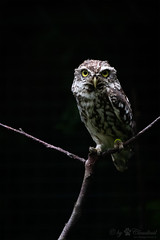 Little owl (Cloudtail the Snow Leopard) Tags: steinkauz kauz eule tier animal vogel bird owl athene noctua little zoo basel