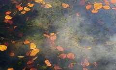 autumn leaves (Renate R) Tags: autumn leaves water floating awardtree