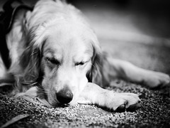 GFX2217 - Relax (Diego Rosato) Tags: relax disney sleep sonno dormire cane dog pet animal animale golden retriever bianconero blackwhite fuji gfx50r fujinon gf110mm rawtherapee