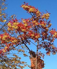 Bountiful harvest (BrooksieC) Tags: ireland northernireland belfast tree branches sky chimney autumn autumnalcolours berries
