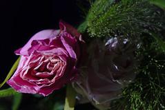 Roses in dark (mmichalec) Tags: rose roses róża róże flower flowers kwiat kwiaty plant nature natura rośliny dark light ciemność światło fujifilm