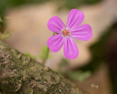 herb robert (crgillette77) Tags: pennsylvania bradfordcounty pisgah wildflower herbrobert geraniumrobertianum