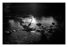 (bakmak71) Tags: minoltax300 summer sommeranderdreisam agfaapx100 scanvomnegativ adonal reiher bird swfilm analogue analog heron