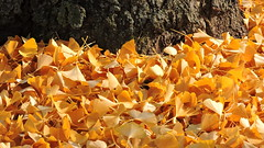2019-10-26 Autumn with Gingko 2 (beranekp) Tags: czech teplice teplitz botanik botanic garden garten tree gingko autumn herbst
