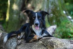 Frisbee (The Papa'razzi of dogs) Tags: portrait tree pet nature dog bordercollie outdoor frisbee hund animal jelling regionofsoutherndenmark denmark