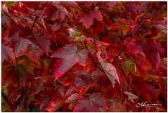 OCTOBER 2019 _1173_NGM_4173-1-222 (Nick and Karen Munroe) Tags: ablaze fire leaves leave maple mapletree treemaple red tree bokeh creamy macro closeup upclose trees heartlakeconservationarea heartlakeconservation heartlakepark heartlake conservationarea conservation november outside forest woods hike trail hiking forests wood natural fall autumn fallsplendor fallcolours karenick23 karenick karenandnickmunroe karenandnick munroe karenmunroe karen nickandkaren nickandkarenmunroe nick nickmunroe munroenick munroedesigns photography munroephotoghrpahy munroedesignsphotography nature landscape brampton bramptonontario ontario ontariocanada outdoors canada d750 nikond750 nikon nikon2470f28 2470 2470f28 nikon2470 nikonf28 f28 colour colours color colors