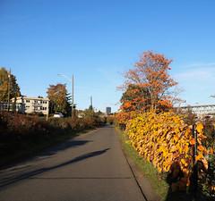 Burke Gilman Trail (Seattle Department of Transportation) Tags: sdot seattledepartmentoftransportation bike burkegilman sunny fall yellow leaves nikiseligman