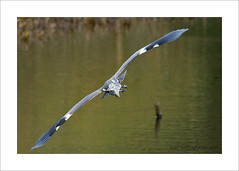 Heron Fly Past (prendergasttony) Tags: bird birdwatching water wings wild wildlife nikon d7200 tony prendergast nature pennington feathers flight feet bombsaway lefthanddown