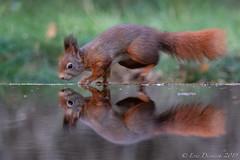 Eichhörnchen (eric-d at gmx.net) Tags: redsquirrel squirrel eichhörnchen sciurus vulgaris wildlife