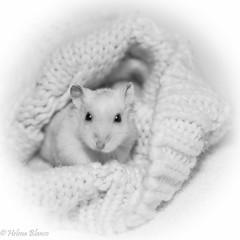Heyyy..what´s up ? (hajlana) Tags: hamster vit blanco