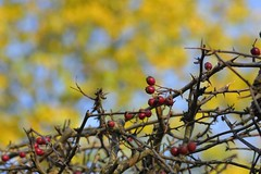 HedgeEdge (Tony Tooth) Tags: nikon d7100 sigma 70mm berries hedge redberries red blue yellow meerbrook staffs staffordshire autumn october