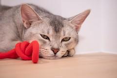 20190710_10_LR (enno7898) Tags: panasonic lumix lumixg9 dcg9 xvario vario 35100mm f28 cat abyssinian pet