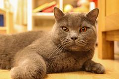 Rooky (JaaniicB) Tags: rooky rookie canon eos sigma 1750 mm f28 cat cats fluffy fur ears eyes golden