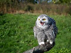 Snowy Portrait (wrpryde) Tags: nikon nature natur naturaleza nikond5 raptor ontario owl
