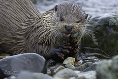 Tooth & Claw... (coopsphotomad) Tags: 2019mull otter otters photo photography image mammal animal predator nature wildlife fur fish eat brown canon 500mm coast sea shore rocks shingle seaweed native wild free elusive shy playful claw hold