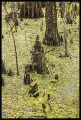 Lake Woodruff NWR #8 2019; Cypress Trees & Cypress Knees (hamsiksa) Tags: water swamps wetlands cypressswamps plants flora subtropicalplants cypresstrees baldcypress taxodiumdistichum marshes florida volusiacounty lakewoodruffnationalwildliferefuge trees aquatics duckweed lemna