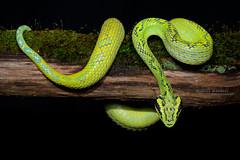 Bothriechis aurifer (Matthieu Berroneau) Tags: sony alpha nature wildlife animal fe90f28macrogoss sonya7iii sonya7mk3 sonyalpha7mark3 sonyalpha7iii a7iii 7iii 7mk3 sonyilce7m3 sonyfesonyfe2890macrogoss objectifsony90mmf28macrofe sel90m28g herp herping amazing reptile reptilian reptilia serpent snake endémique crotale pitviper yellowblotched palm pit viper yellowblotchedpalmpitviper bothriechis aurifer bothriechisaurifer guatemalalanzenotter gelbgefleckte lanzenotter gelbgeflecktelanzenotter nauyaca de árbol manchas amarillas nauyacadeárbolmanchasamarillas