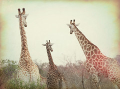 Three Giraffes in South Africa (` Toshio ') Tags: toshio southafrica krugernationalpark giraffe giraffes animals wildlife mammal kruger africa nature bush canon7d 7d canon tree safari