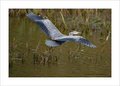 Heron (prendergasttony) Tags: heron bird birdwatching border birding nature nikon d7200 tony prendergast elements wildlife portrait