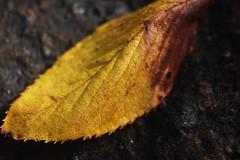 Novoflex Noflexar 35mm f3.5 Macro M42 Mount P1340362 (Xu@EVIL Cameras) Tags: novoflex noflexar 35mm f35 macro m42 mount natural color plant