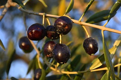Olives picades per la mosca, les Planes, Torrelles de Foix. (Angela Llop) Tags: catalonia spain penedes barcelona europe olivetree