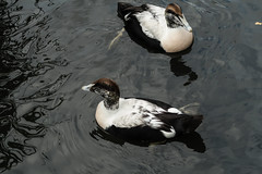 Yin and yang? (PChamaeleoMH) Tags: barnes birds eider london wwtbarnes wetlandcentre
