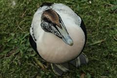 So cuddly... (PChamaeleoMH) Tags: barnes birds eider london wwtbarnes wetlandcentre